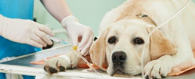 Kemoterápia kutyákabn daganatok, távoli áttétek kezelésében.