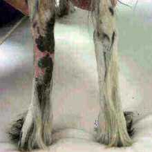 Sugárkezelés után csökkent a duzzanat mérete Gurigu kutya lábán.