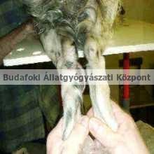 Kutya csánkján daganatos kinövés sugárkezelés előtt, műtét után.