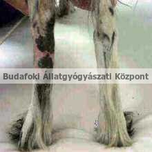 Sugárterápia után csökkent a duzzanat a kutya lábán.