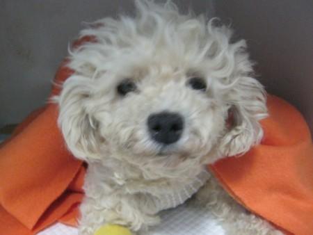 Cecilia kutyus jókedvűen ébredt a műtét utáni altatásból.