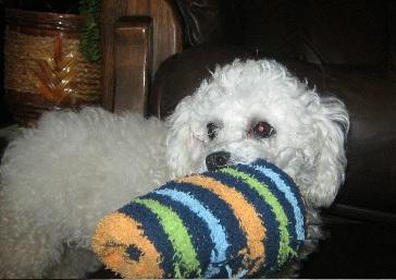 Cecilia kutya az emlődaganat műtét után gyógyultnak nyilvánítva, boldogan cipeli a zoknikat.