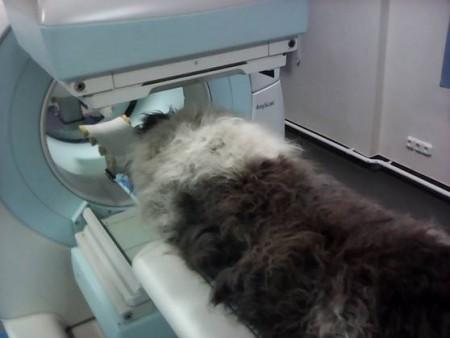 Kutya SPECT/CT vizsgálaton a Budafoki Állatgyógyászati Központ onkológiai szakrendelésén